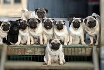 Animals: Dogs - Pugs