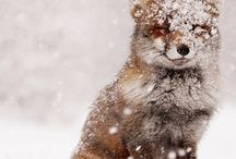 Snow Dogs, Wolves, and Foxes