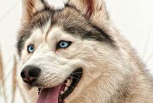 ハスキー / husky dog