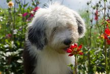 OES - from all over the world / old english sheepdogs