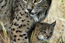 Kočkovité šelmy