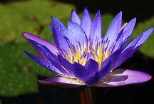 Flor del lototo