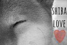Pets - Shiba Inu