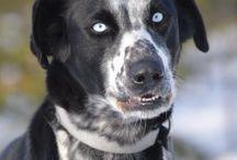 Sled Dogs / #sleddogs #sled #dogs #mushing #dogsledding #huskies #husky #eurohound