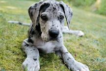 Great Danes / Only the best for your pet! Check out all of our great supplies at Best Pet Inc. for bedding, toys, leashes, treats and more for your gentle giant!