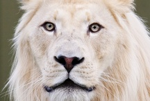 White Lions / The white lion is a rare colour mutation. They are not a separate subspecies. Indigenous to the Timbavati region of South Africa for centuries. Regarded as divine by locals.  They are not albinos. Their white colour is caused by a recessive gene known as the color inhibitor gene, distinct from the albinism gene. They vary from blonde to near-white. This coloration does not appear to disadvantage their survival.