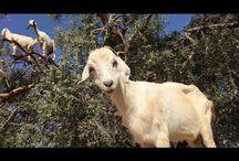 MFW: Goat