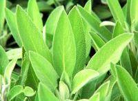 garden: herbs