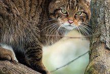 Scottisch wildcat