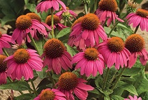 Perennials for Sun / Perennials come up again in the garden the following year. Plants featured on this board are rated hardy for Southern Minnesota, zone 4. That means they should return after winter. Place these plants in full sun (6 hours of strong sun at the minimum) for best results.