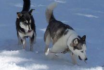 Huskies and More
