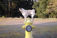 Pugs on fire hydrants