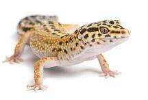 geckos / by Sachiko Whitsett