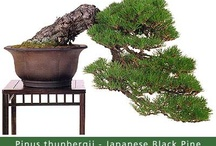 Common Bonsai Species / Beautiful Examples of common species
