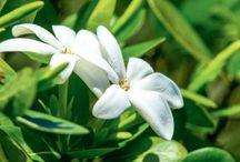 """Monoi - das Schönheitsgeheimnis / Das Schönheitsgeheimnis der Vahinés   Monoi, was soviel wie """"duftendes Öl"""" bedeutet, ist ein Schönheitselixier, das die Bewohner Tahitis verwenden, um sich zu verschönern und Körper und Haar zu beduften.  Enthalten ist Tiare, das sind feiner Blüten in leuchtendem Weiß, die so fremdartig und eindringlich riechen. Hier könnt ihr die Schritte der Ernte für die Tiare-Blumen entdecken…"""