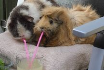 Guinea pigs / Just love these little guineas, had 32 once, all lived a full life too.