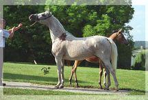 Bloody Shoulders (Arabians)