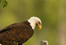 CX Eagles & Eaglets