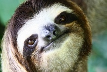 sloths / sloths. zzz. / by Jeanne Beacom