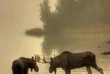 Moose- Big and Beautiful