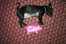 Csumpi my sweetheart daug/pugshound