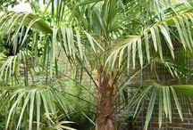 Waaierpalm - Trachycarpus