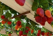 gardens / vegetable, fruit orchards and ornamental