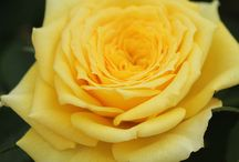 National Rose Month / June is National Rose Month!