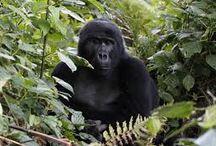 Uganda  / Gorilla Trekking in Uganda 9/8/13-9/13/13 been assigned the Bitukura Gorilla Group with 4 sliverbacks , 3 adult females, 2 blackbacks 2 juvenile and 2 infants, also visiting the ZIWA RHINO & WILDLIFE RANCH / by Carissa Warren