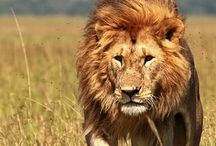 King of the jungle / picture of the king of the jungle