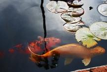 Koi Ponds / Koi ponds make a nice addition to your garden landscape.