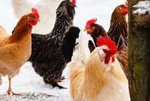 Høner i hagen.