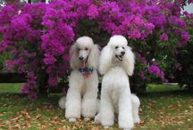 Dogdom: French Poodles / The second most intelligent dog. / by Edna Lötter Botha