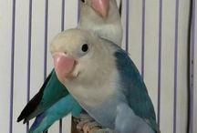 love bird indonesia