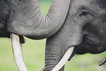 Elephants xxx
