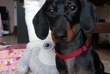 life of a dachshund