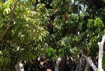 עצי ליצ׳י בוגרים ירוק ישראלי