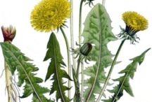 (( ERBE DELLA SALUTE )) / piante officinali, consigli, ricette e .......
