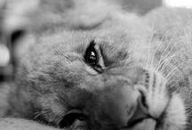 roar. / lions. tigers. roaring animals.