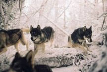 Wolves / by Vanessia Theel