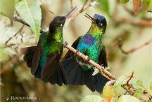 Birds of Costa Rica