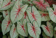 tipos de flor caladium maria pintada