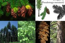 Herbs: Conifer Trees