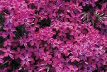 Perennial Plants - Jung Seed Company / Great Perennial Additions from our NGB Member Jung Seed Company