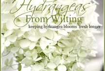 Hydrangeas / How to stop them from wilting