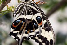 butterflies of eastern Africa