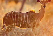 Female greater kudu in Chobe National Park, #Botswana #HeathrowGatwickCars.com