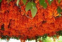 bunga pergola
