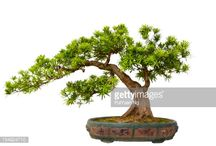 Podocarpus B.