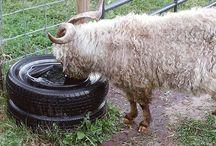 Goat Raising Tips